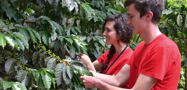Alice et Raphaël inspectent les cerises de café encore vertes