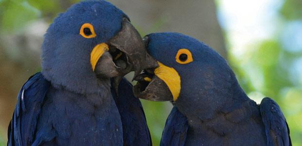 Les aras du Pantanal - Amazonie  - Brésil