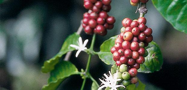 Une branche de caféier