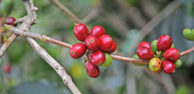Cerises de café bien rouges