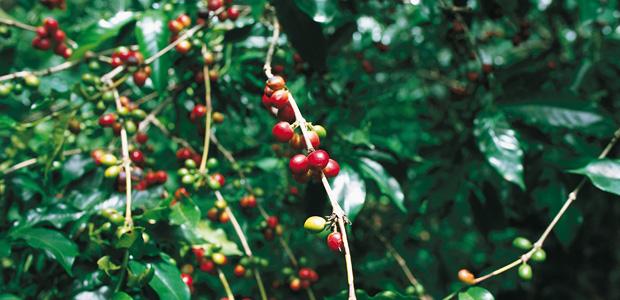 Des cerises de café à profusion