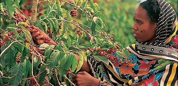 Cette dame abyssine cueille à pleines mains les cerises rouges de moka.
