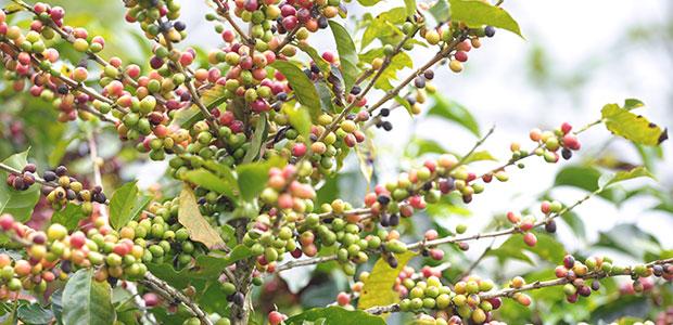 En début de récolte , les caféiers sont couverts de cerises rouges, jaunes, vertes.