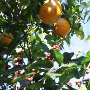 Des caféiers à l'ombre des orangers