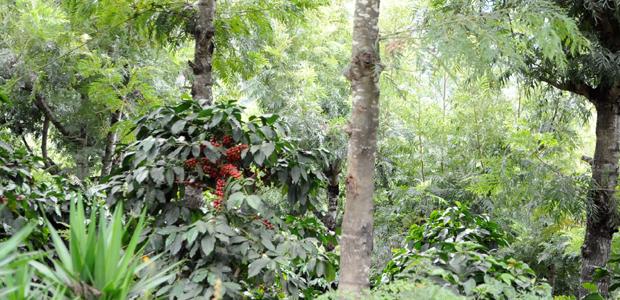 Des caféiers sous les grands arbres protecteurs