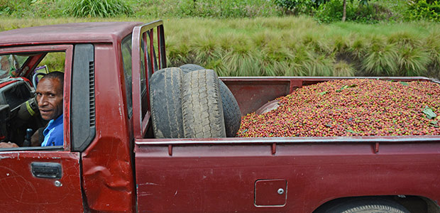 L'arrière de la camionnette emplie de cerises de café