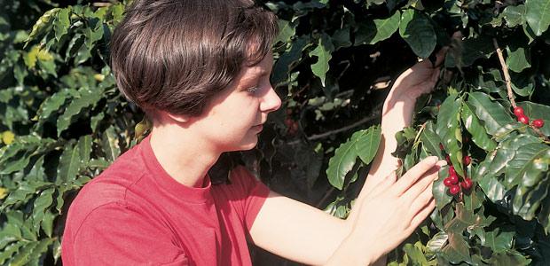 Cécile cueille les cerises de café près de Bahia en 1994