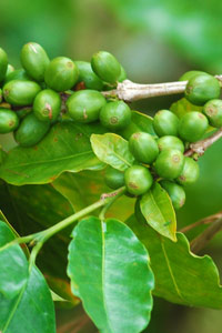 Cerises de café encore vertes au Panama
