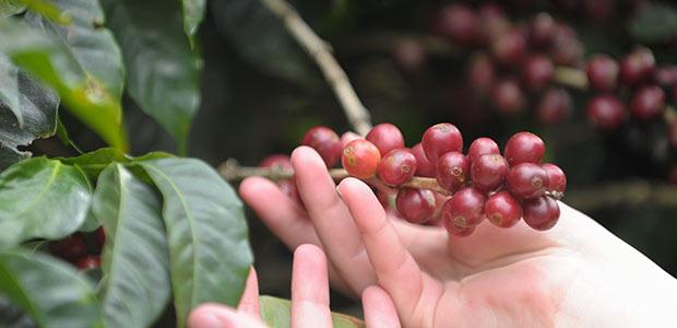 Grappe de cerises de café rouges, bien mûres