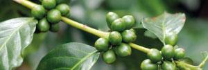 Cerises de café encore vertes