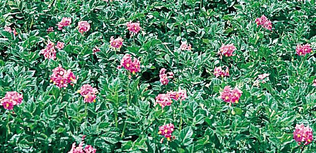 Pommes de terre en fleurs sur l'île de Taquilé au Pérou