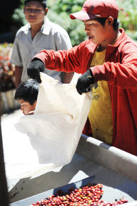 Le contremaître contrôle le poids des sacs de cerises de café
