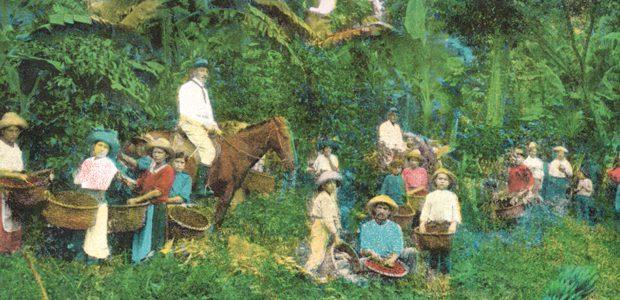 La cueillette des cerises de café