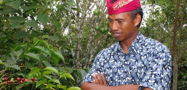 A l'ombre des manguiers, les caféiers