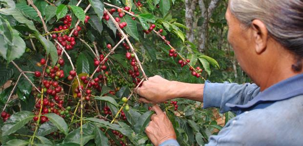 Femme à la cueillette des cerises de café