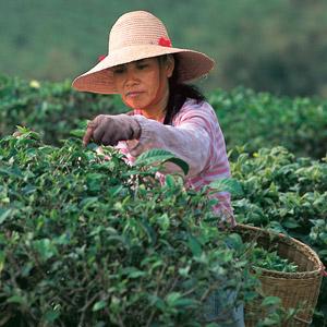 A la rencontre des cueilleuses de thé