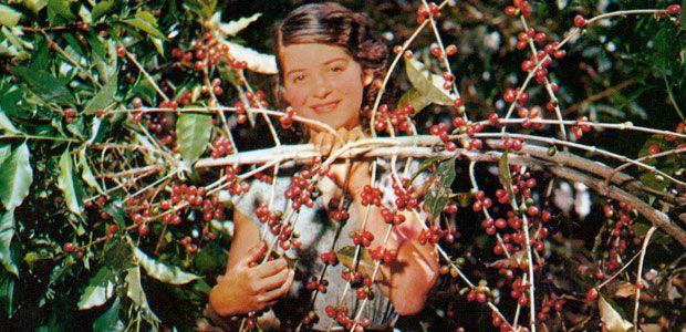 Les branches ploient sous les cerises de café