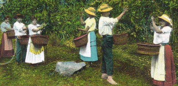 Au Costa Rica, la cueillette des cerises de café s'effectue encore à la main