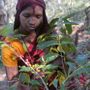 Les dames Bonda cueillent encore les cerises de café en habit traditionnel