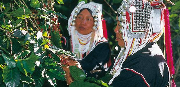 Deux sœurs Akha cueillent les cerises de café
