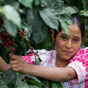 Juana à la cueillette du café