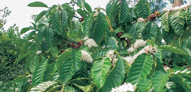 Branche de caféier ployant sous les fleurs et les cerises rouges à Java.