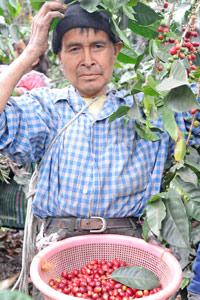 Cueillette du café au Guatemala
