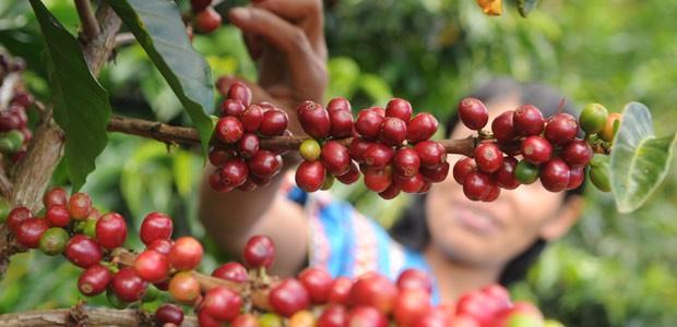 Indienne N'Gobé à la cueillette des cerises de café à Boquete au Panama