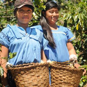 Indiennes N'Gobé avec leur panier de cerises de café