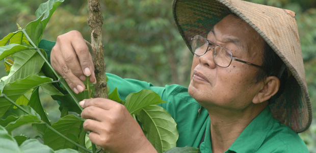 A Java, le bouturage d'un rameau de caféier