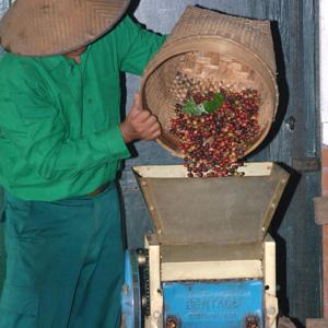 Le dépulpage consiste à séparer les grains de café de la pulpe des cerises