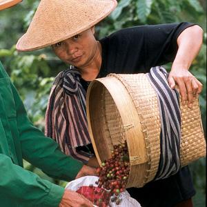 Après la récolte, on vide les paniers de cerises rouges dans de grands sacs.