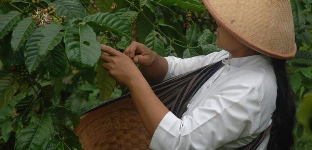 Jeune femme à la cueillette des cerises de café
