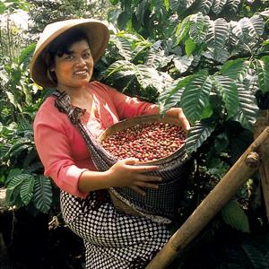 A Java, jeune femme à la cueillette des cerises de café, sur une échelle de bambou