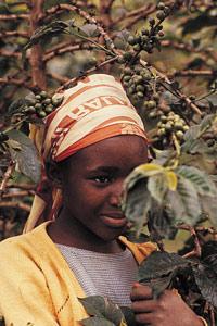 Jeune fille Kikuyu à la cueillette des cerises de café au Kenya