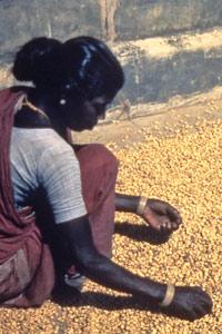 Jeune Indienne au tri du café vert en 1987