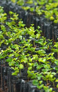 Plants de caféiers au Panama