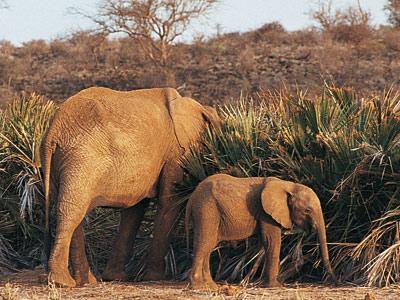 Les éléphants du Kenya