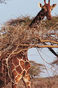 Les girafes du Kenya