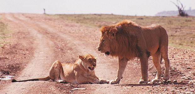 Un couple de lions nous barre la piste.