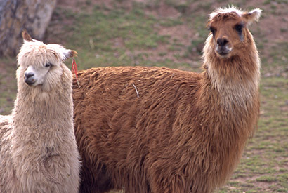 Lama blanc et lama marron  au Pérou