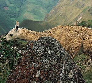 Un lama du Machu Picchu
