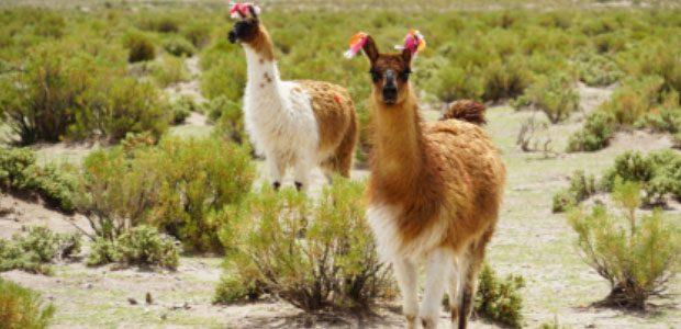 70% des lamas du monde entier se trouvent en Bolivie