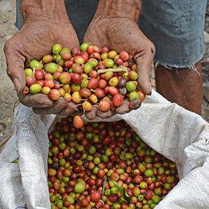 Les dernières cerises de café