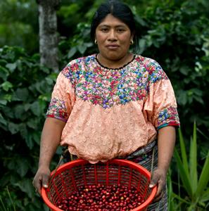 A la cueillette des cerises de café