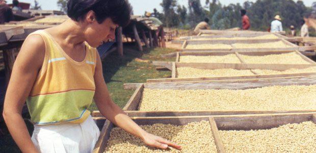 Mania inspecte les claies de café vert