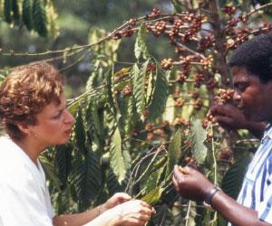 Mania inspecte les cerises de café. Au Togo, essentiellement des robusta.