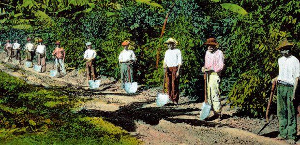 Les hommes, avec de grandes pelles, nettoient les allées de caféiers