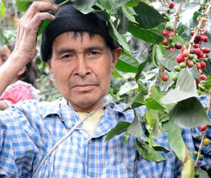 Cueillette des cerises de café