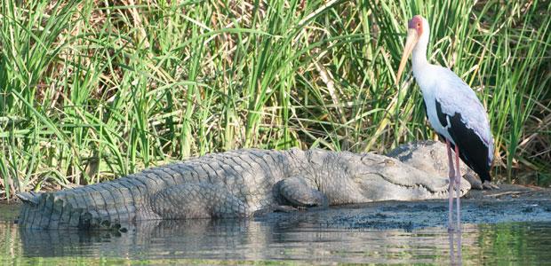 Cohabitation hasardeuse avec les crocodiles géants
